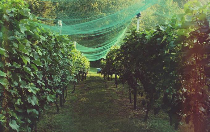 Willow Spring Vineyards